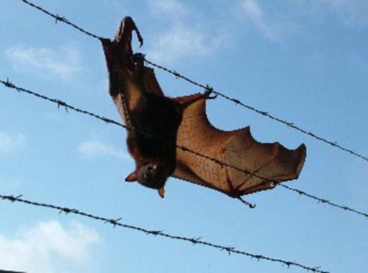 Flying Fox caught in wire