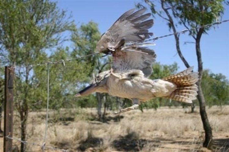Kookaburra Caught Barbed Wire Photo Jack Shield