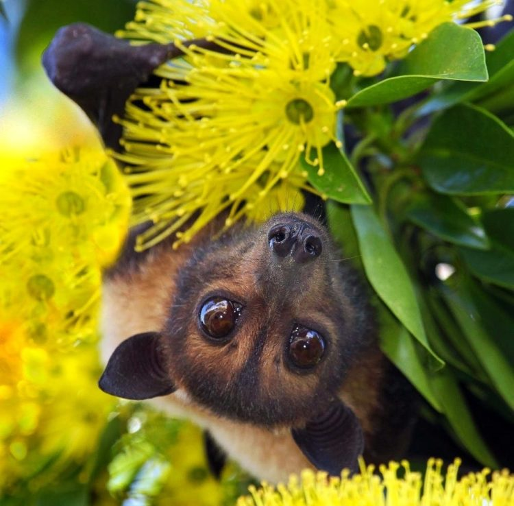 Spectacled Flying Foxes At Risk