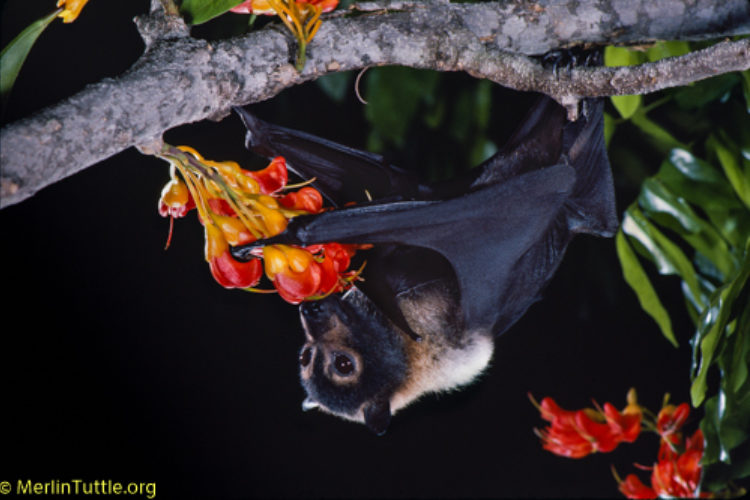 Spectacled Flying Fox Pollinating A Black Bean Tree