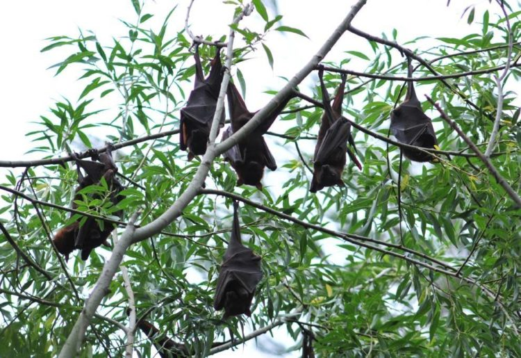 Orange Flying Fox Management Plan