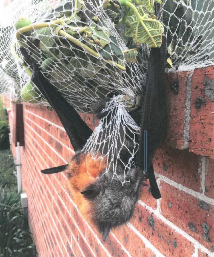 Bat Caught in Netting