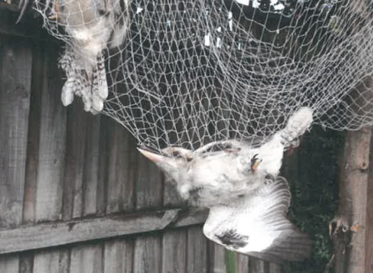 Kookaburra Caught in Netting