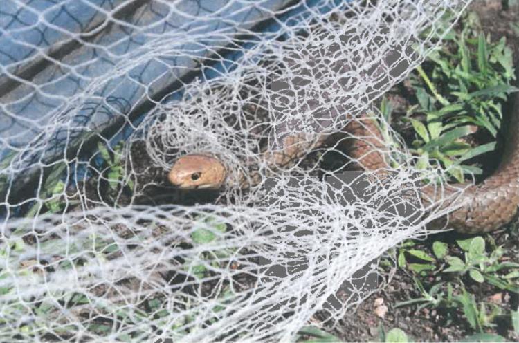 Snake Caught in Netting