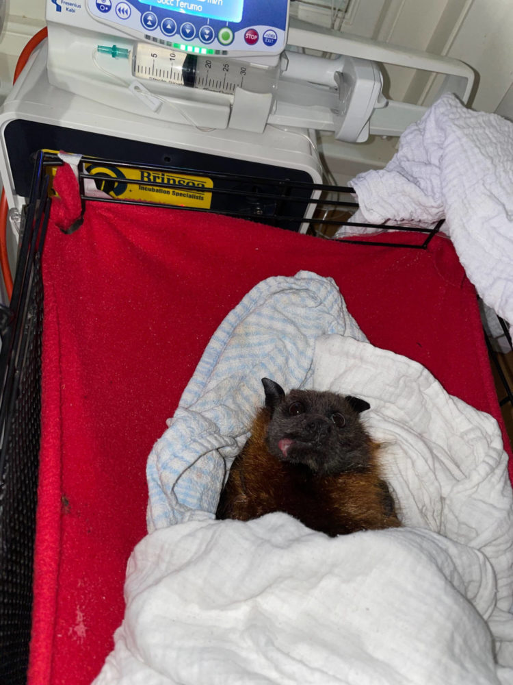 Lake Parramatta Bat Following Removal Of Fish Hooks