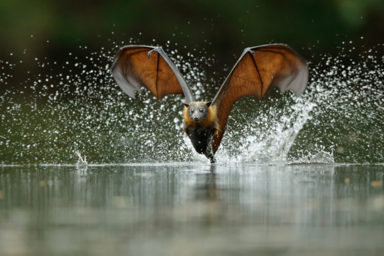 Grey Headed Flying Fox 4
