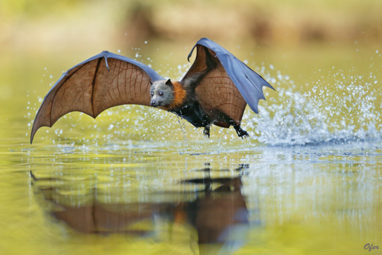 Grey Headed Flying Fox 5