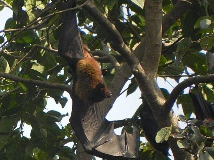 Flying Fox With Wings Stretched
