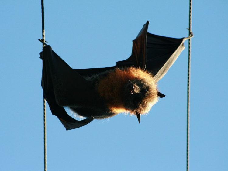 Electrocuted Flying Fox