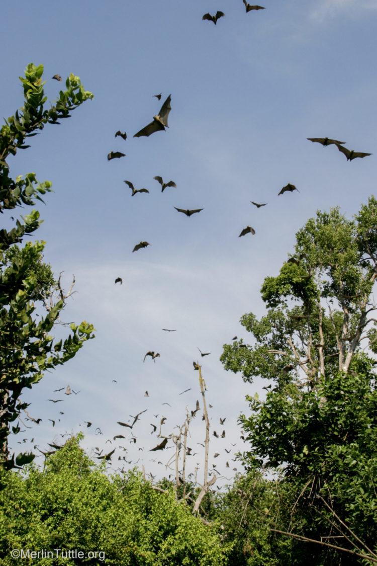 Degraded Diminishing Habitat Of Straw Coloured Bats