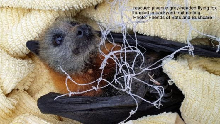 Backyard Fruit Tree Nets With Wide Aperture Flimsy Weave Pose Deadly Threat To Flying Foxes