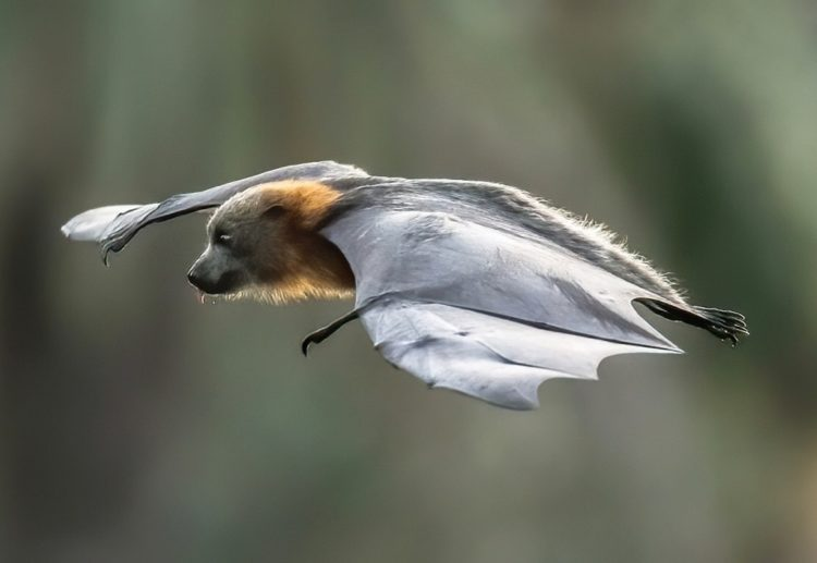 A Study In Concentration Grey Headed Flying Fox
