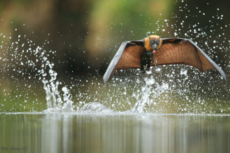 Grey Headed Flying Fox Drinking Ofer Levy