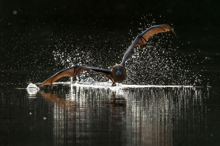 Flying Fox Skimming Pond