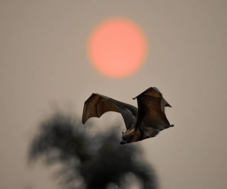 Flying Fox Sydneys Red Sun
