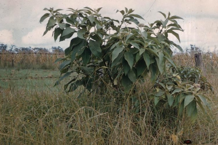 Wild Tobacco Tree
