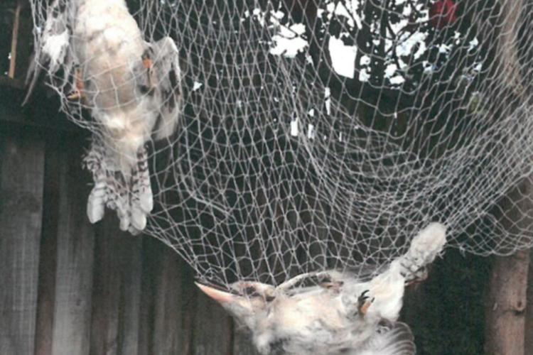 Netting Kookaburras